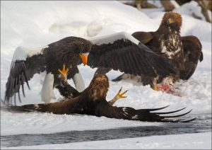 The Largest Eagles in the World