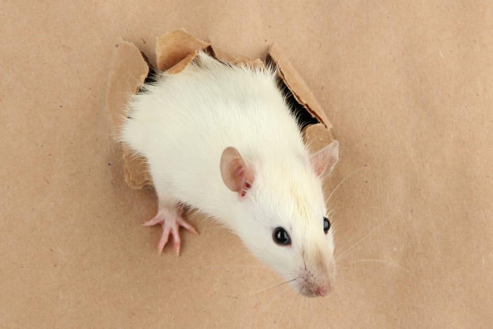 keeping a pet rat