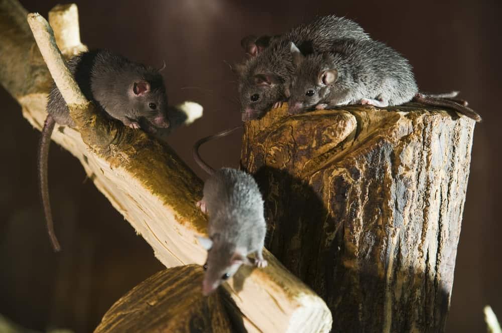 pet rat care guide