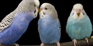 facts about budgies