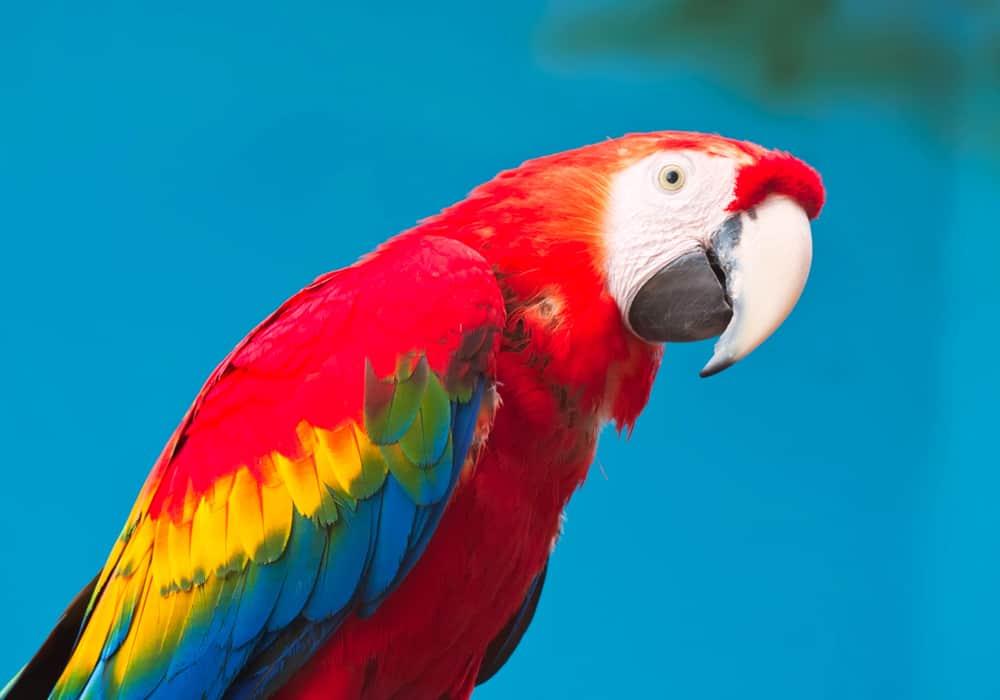 pet parrot facts