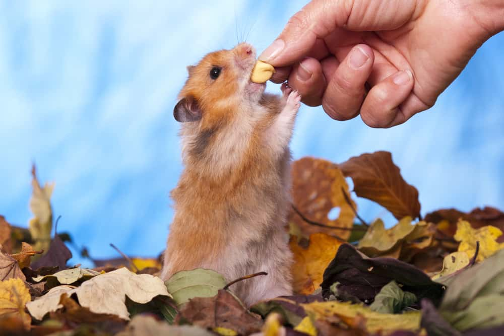 Hamster Facts The Nocturnal Rodent